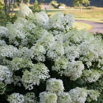 Elegant Colorful Bobo Hydrangea Garden Landscaping Ideas09