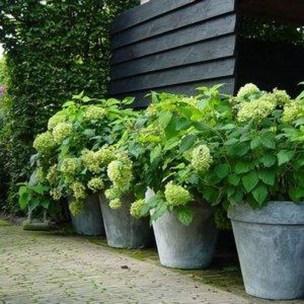 Elegant Colorful Bobo Hydrangea Garden Landscaping Ideas14