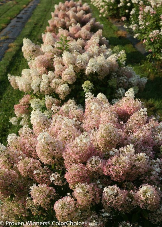 Elegant Colorful Bobo Hydrangea Garden Landscaping Ideas20