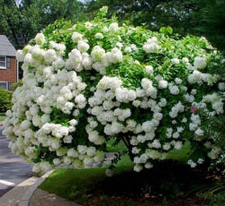Elegant Colorful Bobo Hydrangea Garden Landscaping Ideas22