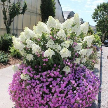 Elegant Colorful Bobo Hydrangea Garden Landscaping Ideas24