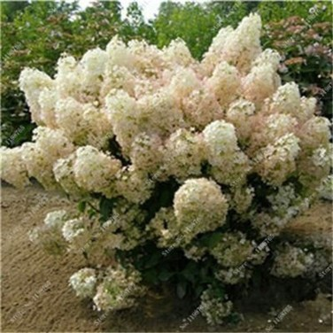 Elegant Colorful Bobo Hydrangea Garden Landscaping Ideas26