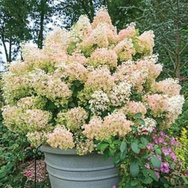 Elegant Colorful Bobo Hydrangea Garden Landscaping Ideas27