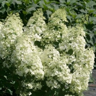 Elegant Colorful Bobo Hydrangea Garden Landscaping Ideas29