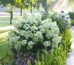 Elegant Colorful Bobo Hydrangea Garden Landscaping Ideas32