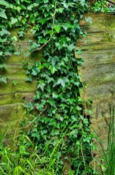 Beautiful Evergreen Vines Ideas For Your Home10