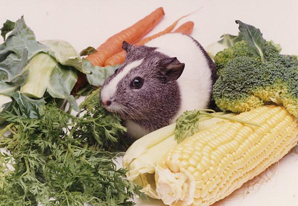 Marsvin och olika grönsaker