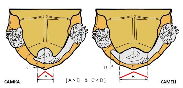 تفاوت زنان از لاک پشت زمین مردانه بر روی سوراخ دم