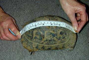 اندازه گیری یک لاک پشت