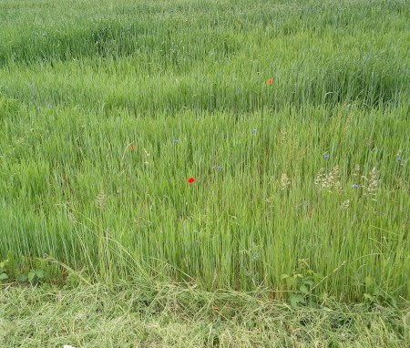 Mak na polju, Foto: Tanja Jerebic