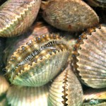 Scalloping Homosassa  Guides