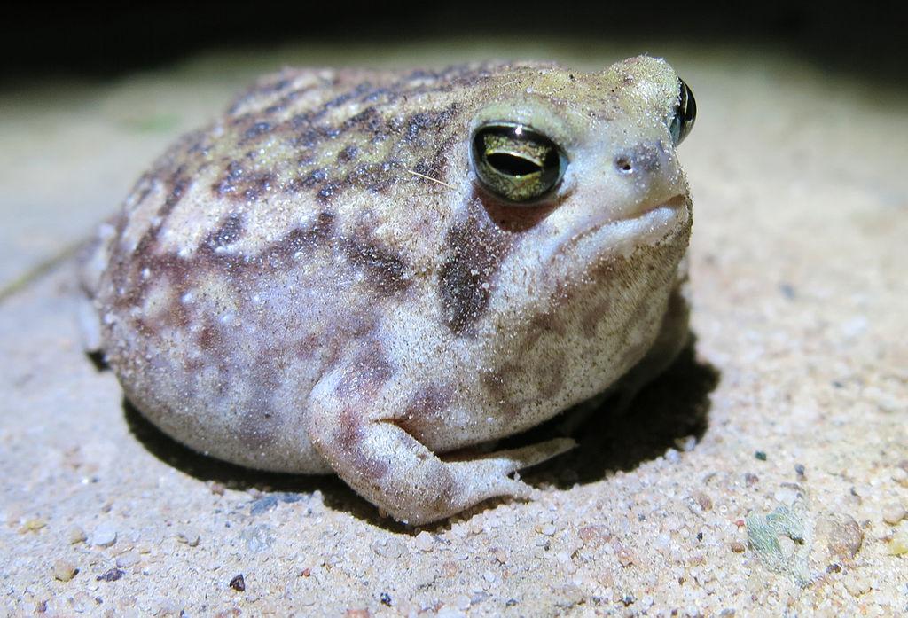 ಮಳೆ ಕಪ್ಪೆ Desert Rain Frog