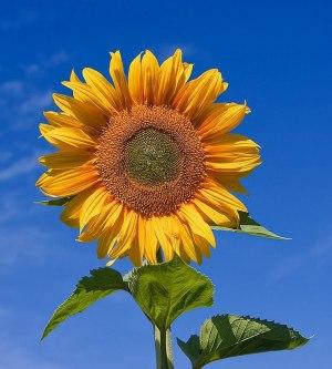 SunFlower ಸೂರ್ಯಕಾಂತಿ
