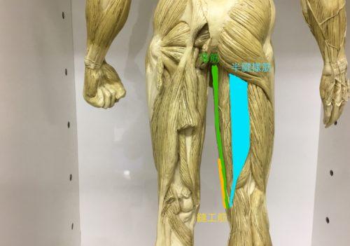 膝の筋肉後面