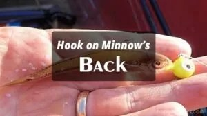 Hook on Minnow's Back