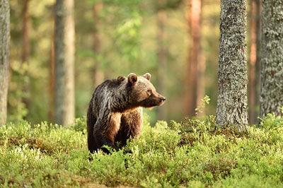 Brown-Bear-behind-the-tree