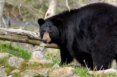 black-bear-watch
