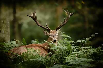 deer-through-trees