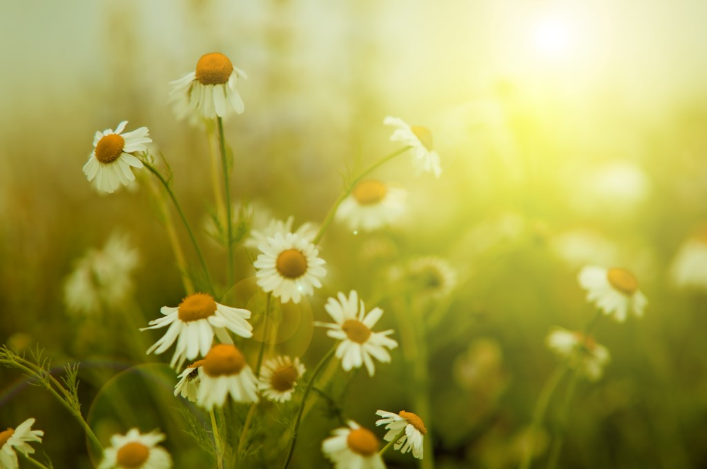 Pretty daisies growing in a field with sunlight