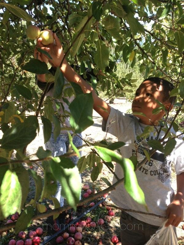 Apple picking in San Diego - boy picking apples from tree in Julian, CA