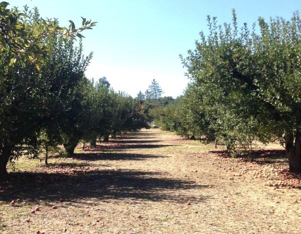 row of apple trees, Calico Farms, Julian CA