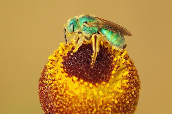 Pollenkitt helps pollen stick to this metallic green bee.