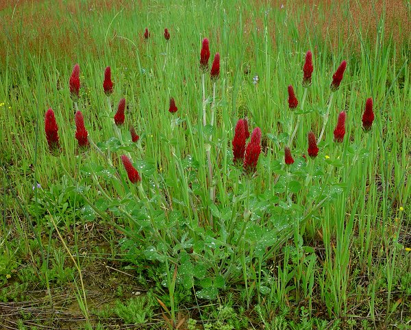 Crimson clover flower heads are elongated and deeply blood red.