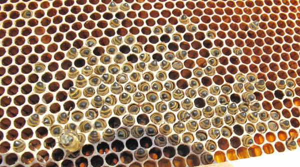 A cluster of dead bees head-down in empty brood comb.