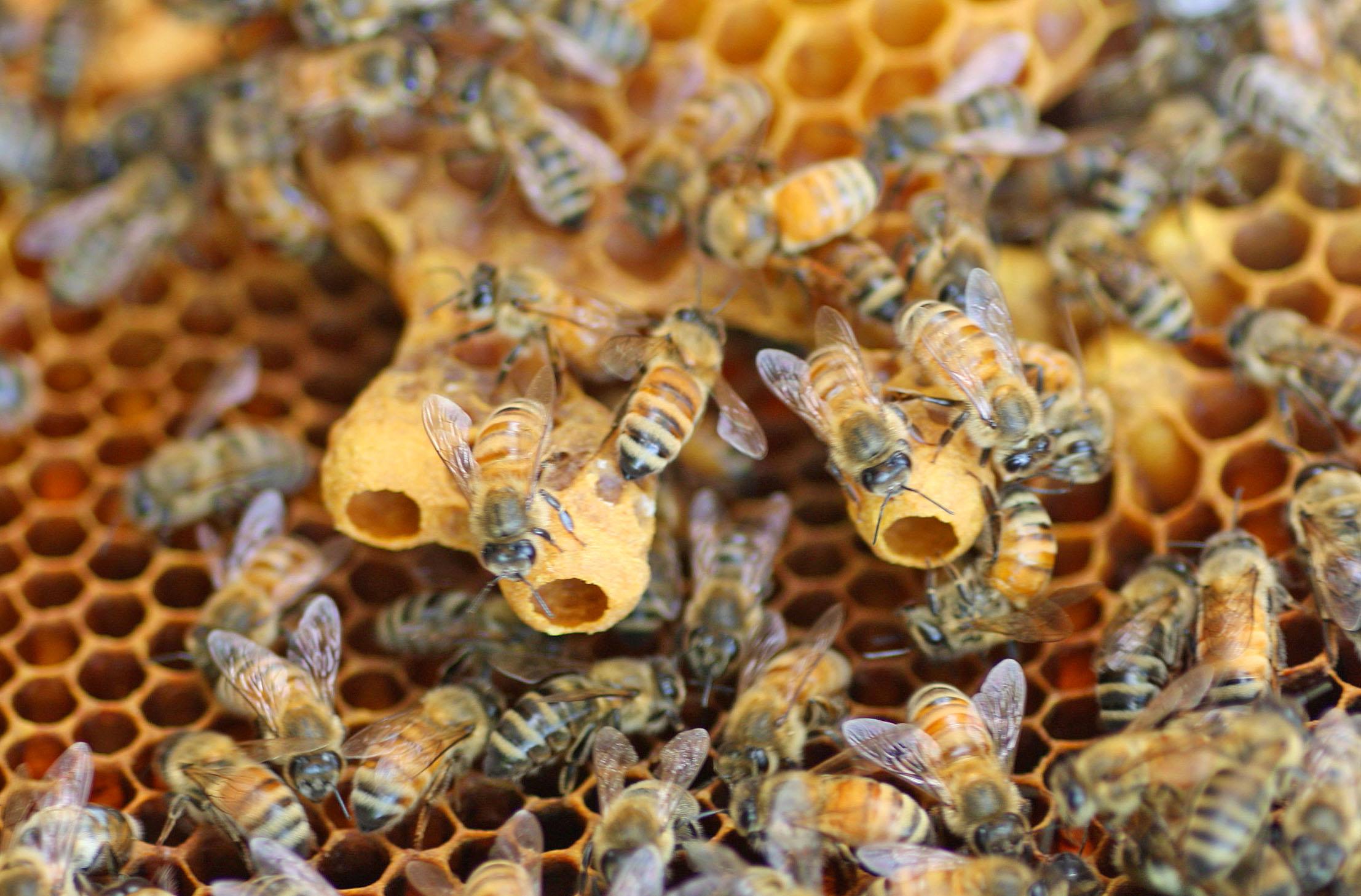 https://i0.wp.com/honeybeesuite.com/wp-content/uploads/2011/06/Swarm-cells.jpg
