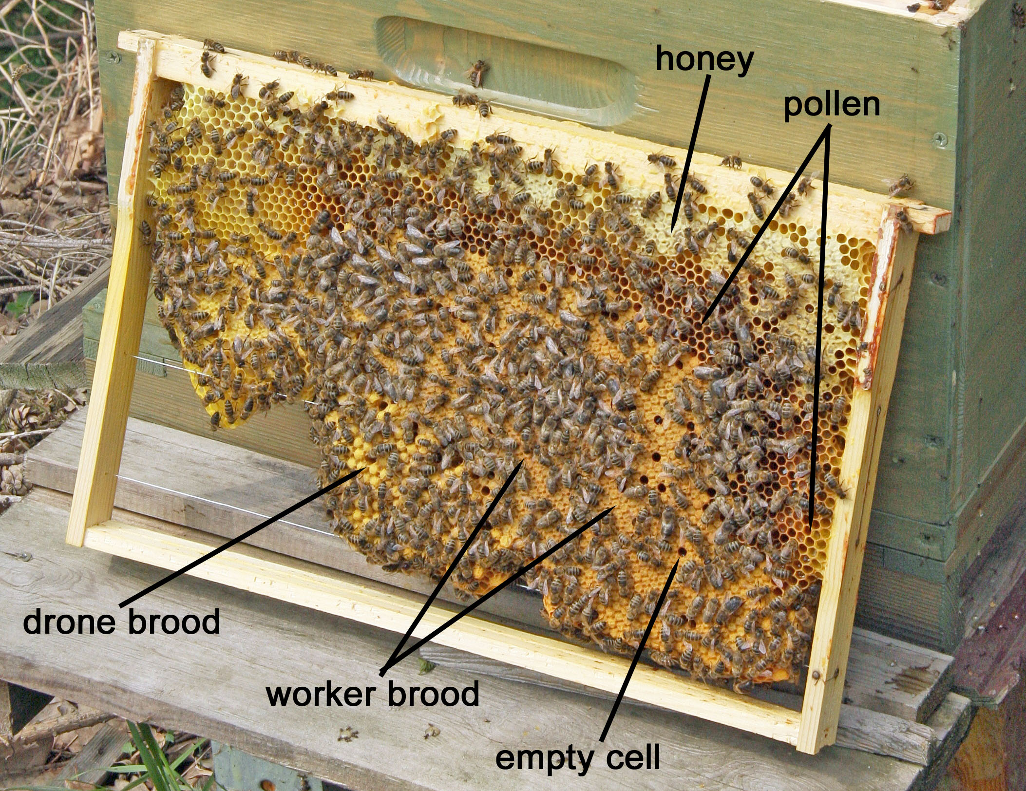 What Is A Brood Pattern Honey Bee Suite Beekeeping Wiring Board On Foundationless Frame Flickr Photo By Maja Dumat