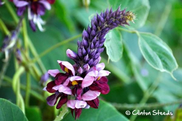 Kudzu vine in flower, the most likely source of purple honey.