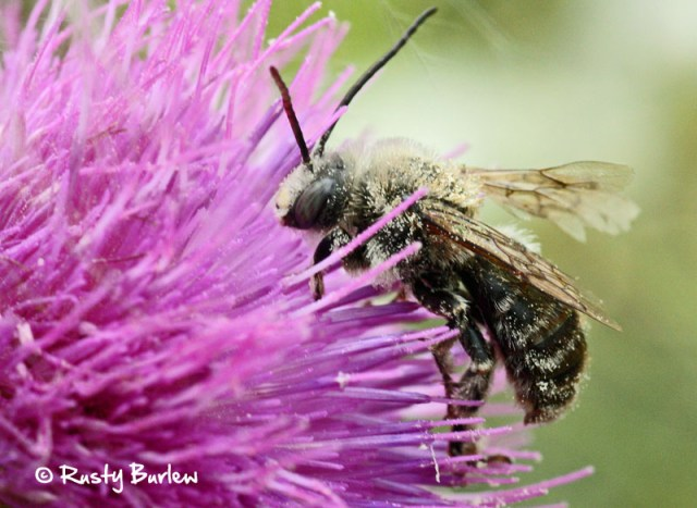 Bees dying from worn wings is not uncommon