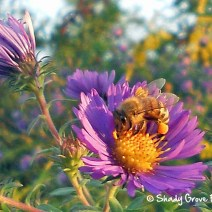 A last minute foraging run. This bee on a fall aster is taking advantage of every opportunity to top off the winter supplies.