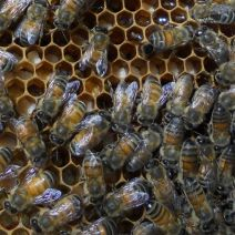 Bees storing pollen at Shady Grove Farm, Kentucky. Photo by Nan.