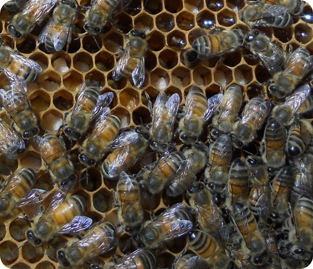 Bees storing pollen at Shady Grove Farm, Kentucky. Photo by Nan.