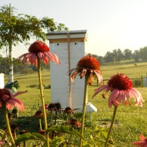 Coneflowers by Herb Lester Apiaries, Tennessee.