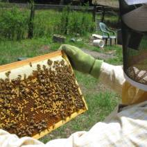 Brood frame from recently split hive by Lyn Berry, Florida.