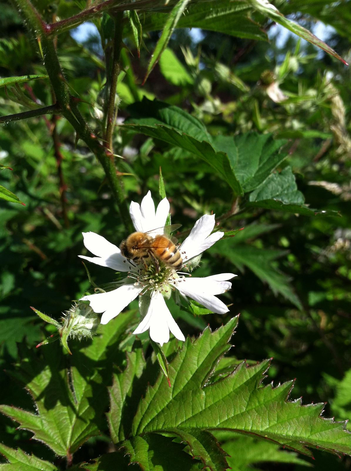 Bee on a bramble. Photo by Toby Mark.