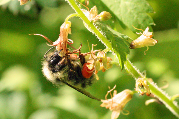 Bumble-bee-5-11-12