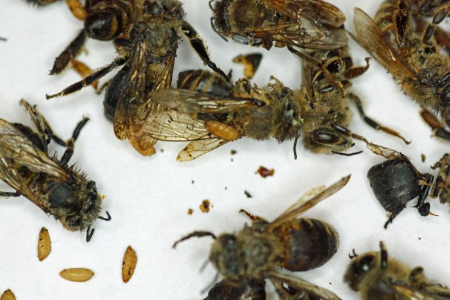 Zombie fly cocoons and dead honey bees.