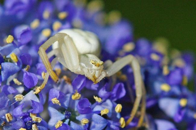 Crab-spider-white