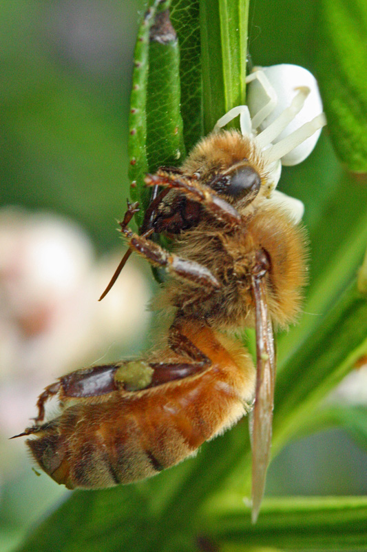 Crab-spider-with-honey-bee