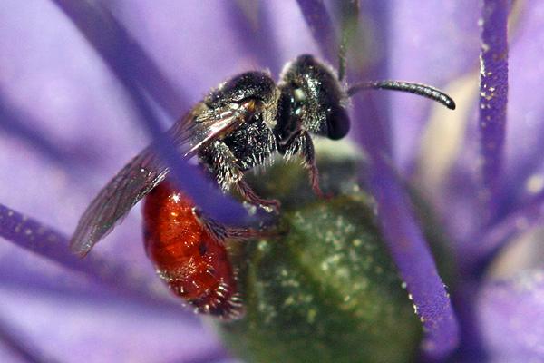 Sphecodes-cuckoo-sweat-bee-600px