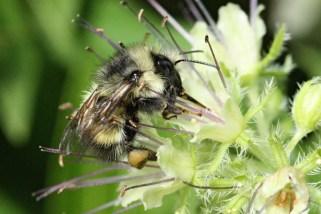 Bumble bee on pacific waterleaf.