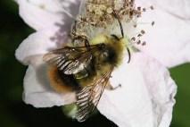 Bumble bee on blackberry flower.