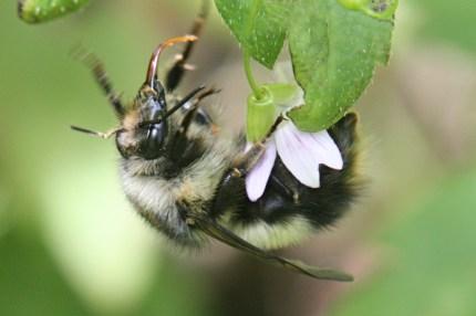 Bumble bee on claytonia.