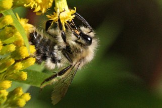 Bumble bee drinking from a goldenrod flower.