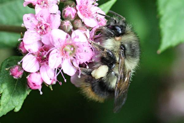 Bumble bee on pink flowers.