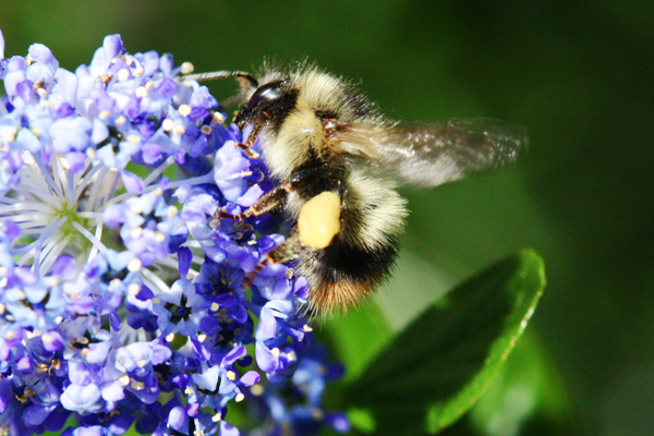 Hairy-bumble-bee