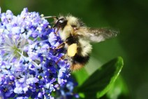 Bumble bees are very hairy.
